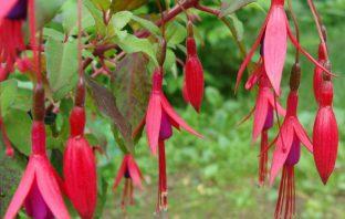 Fuchsia magellanica – Hummingbird Fuchsia