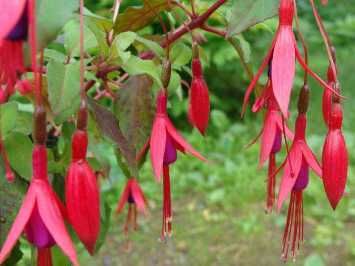 Fuchsia magellanica (Hardy Fuchsia)