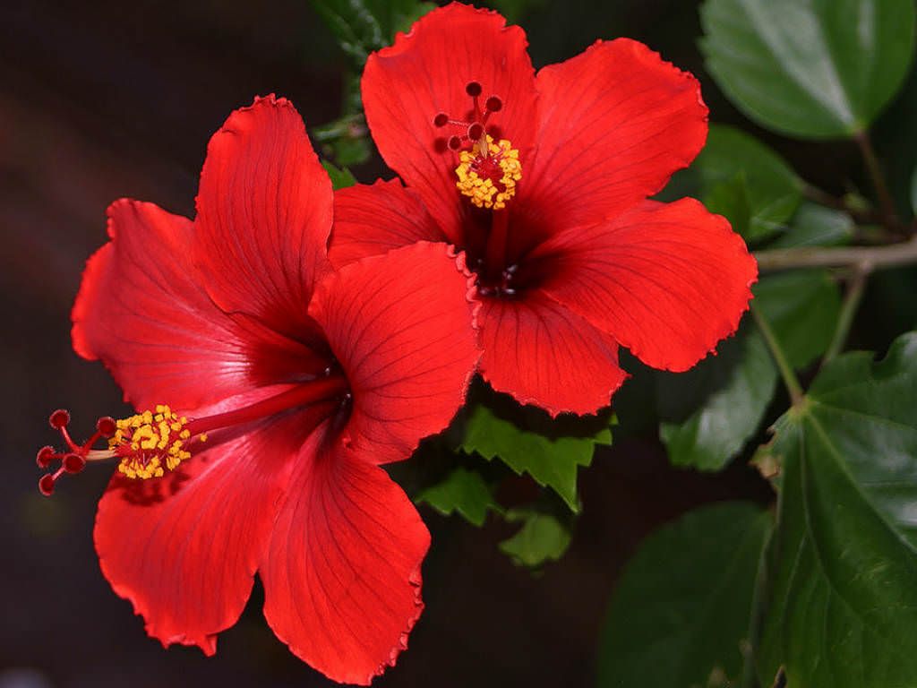 Hibiscus rosa sinensis china rose world of flowering plants the brilliant red 5 petaled flowers are 4 inches 10 cm in diameter the fruit is a dry five parted capsule that contains up to three seeds izmirmasajfo Image collections