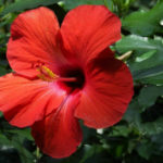 Hibiscus rosa-sinensis - Rose Mallow