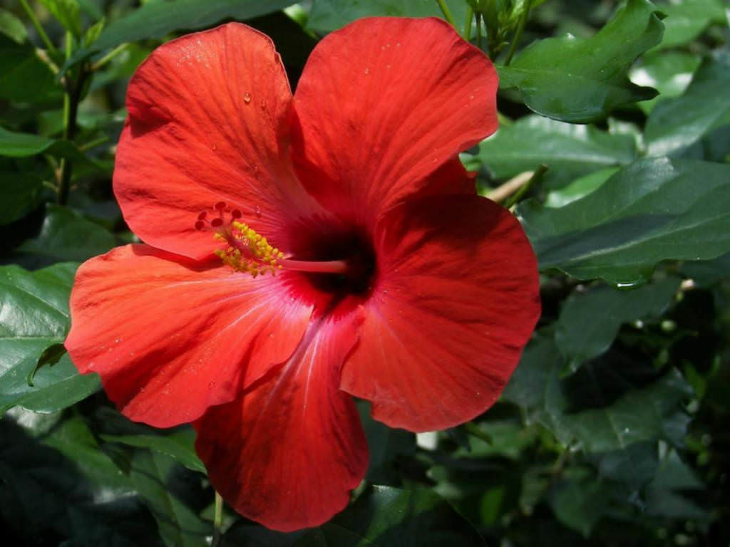 Hibiscus rosa-sinensis - China Rose | World of Flowering ...