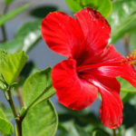 Hibiscus rosa-sinensis (Chinese Hibiscus)
