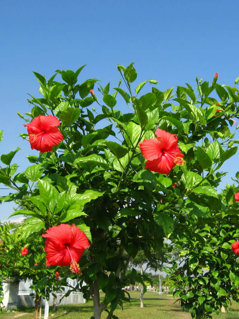 Hibiscus Rosa Sinensis Chinese Hibiscus China Rose