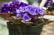 Saintpaulia ionantha - African Violet