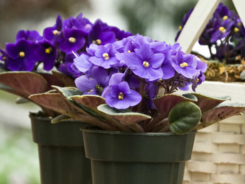 Saintpaulia Ionantha African Violet World Of Flowering