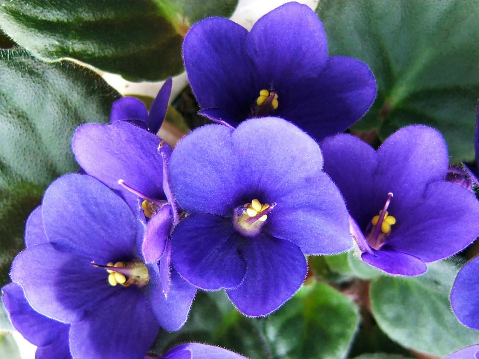 saintpaulia ionantha african violets - African Violets