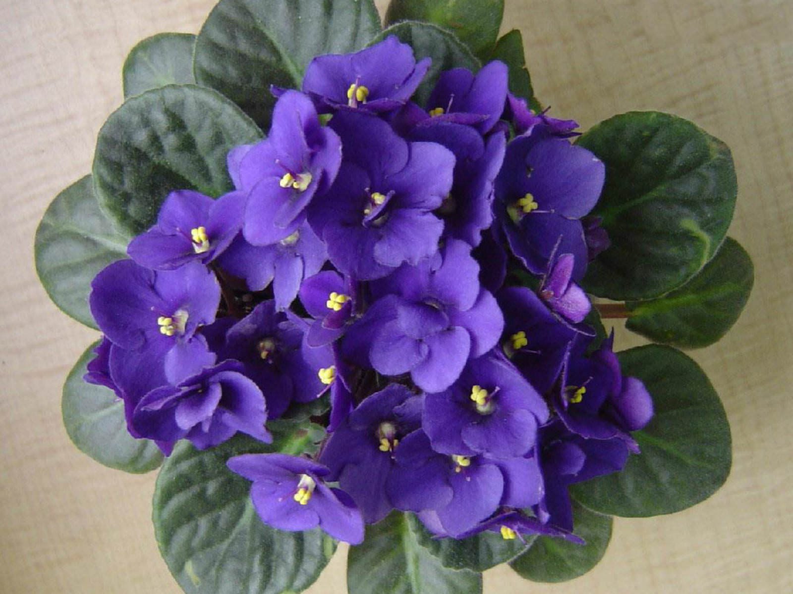 Saintpaulia ionantha - African Violet | World of Flowering ...