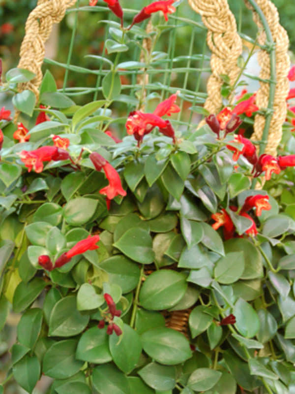 Lipstick plant уход и выращивание 55