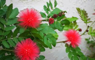 Calliandra haematocephala (Red Powder Puff)