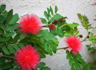 Calliandra haematocephala (Red Powder Puff)