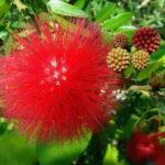 Calliandra haematocephala - Red Powder Puff