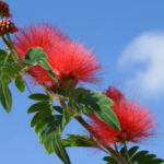 Calliandra haematocephala - Red Powder Puff