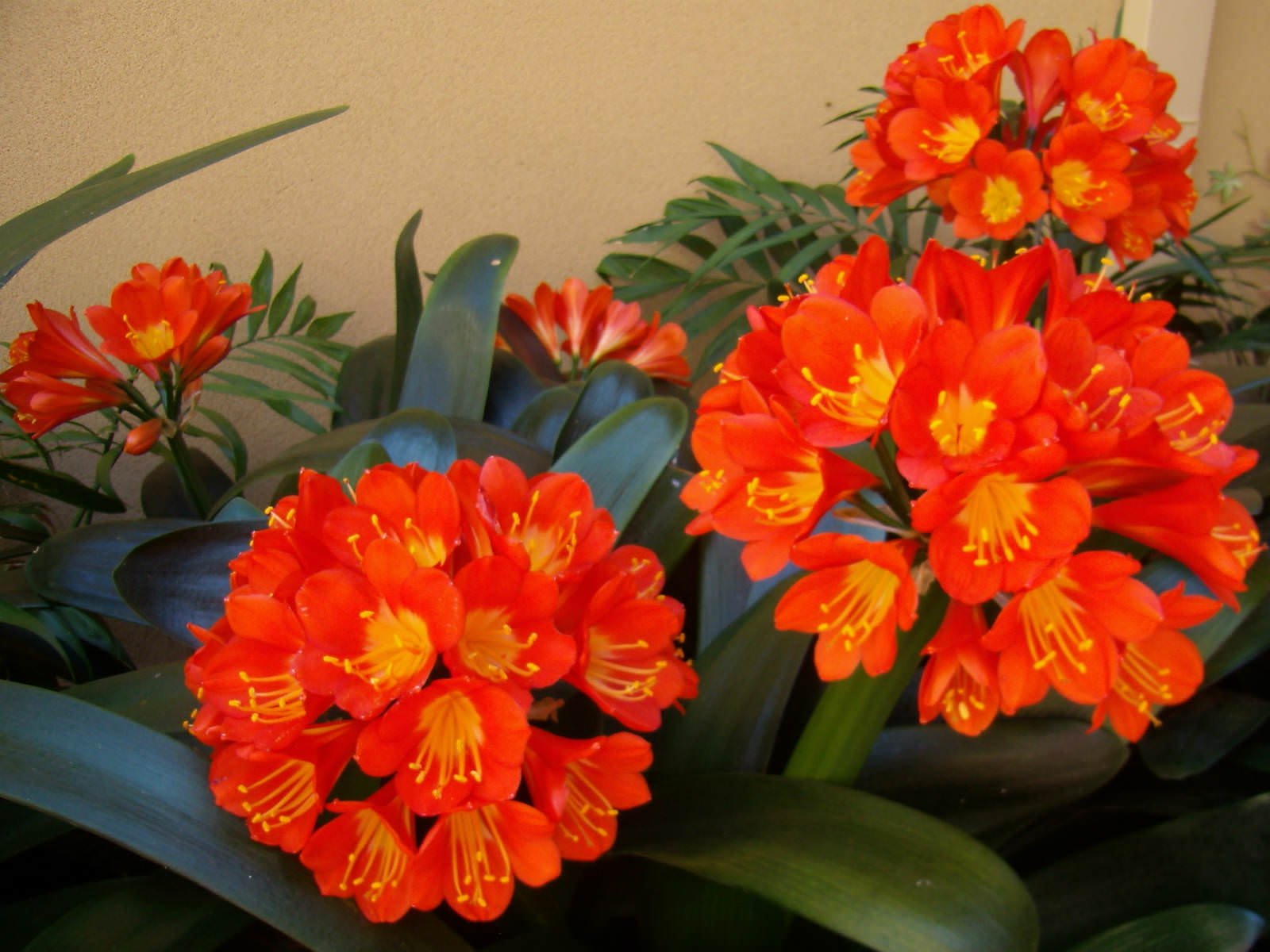 Clivia miniata kaffir lily world of flowering plants as a houseplant it usually blooms in winter with clusters of up to 20 tubular orange scarlet or pale yellow flowers with yellow throat izmirmasajfo