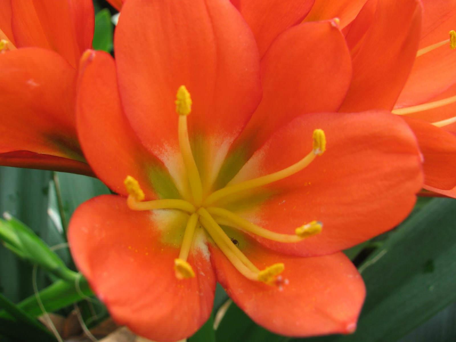 clivia miniata   kaffir lily orange clivia world of