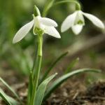 Galanthus nivalis - Common Snowdrop