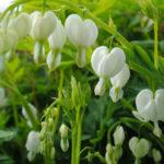 Lamprocapnos spectabilis 'Alba' - White Bleeding Heart