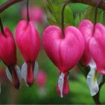 Lamprocapnos spectabilis - Bleeding Heart