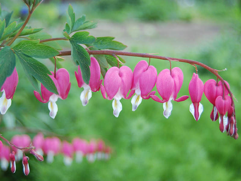 bleeding heart plant care instructions