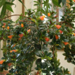 Nematanthus wettsteinii - Goldfish Plant