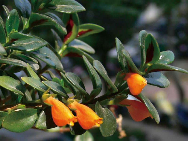 Nematanthus Wettsteinii Goldfish Plant World Of
