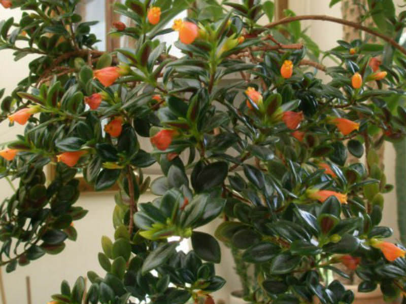 Goldfish Plant Propagation