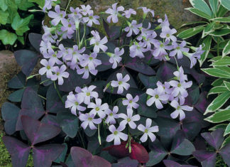 Oxalis triangularis – False Shamrock