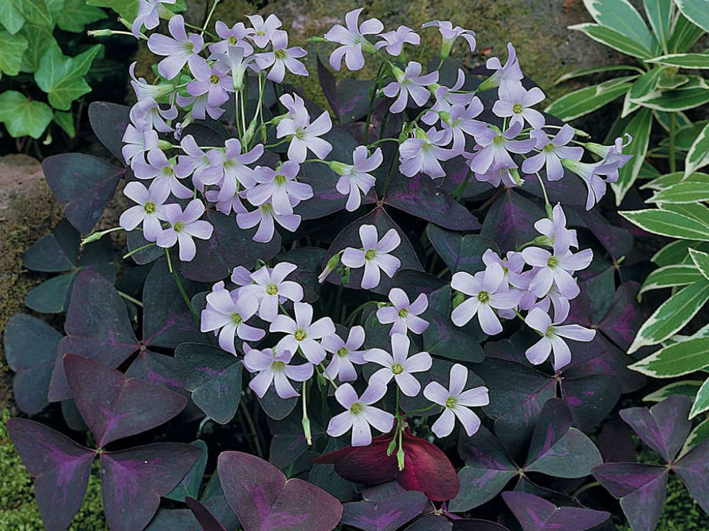 oxalis triangularis false shamrock world of flowering