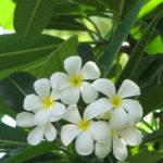 Plumeria obtusa - Singapore Graveyard Flower