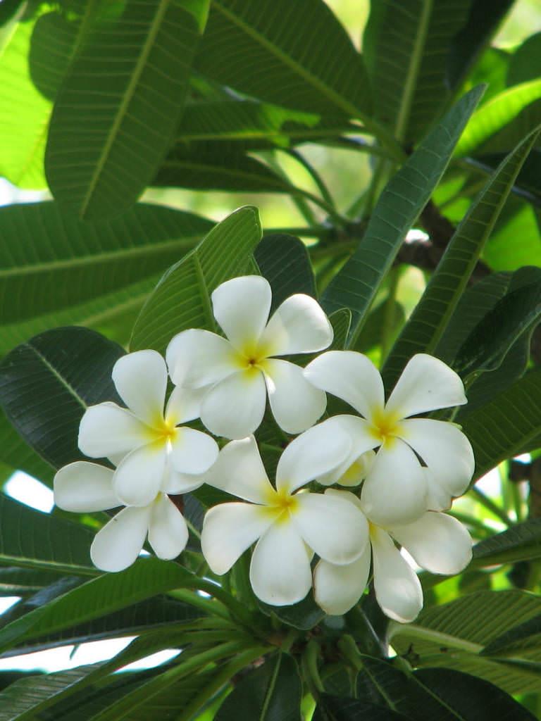 Garden Bush: Plumeria Obtusa - Singapore Graveyard Flower
