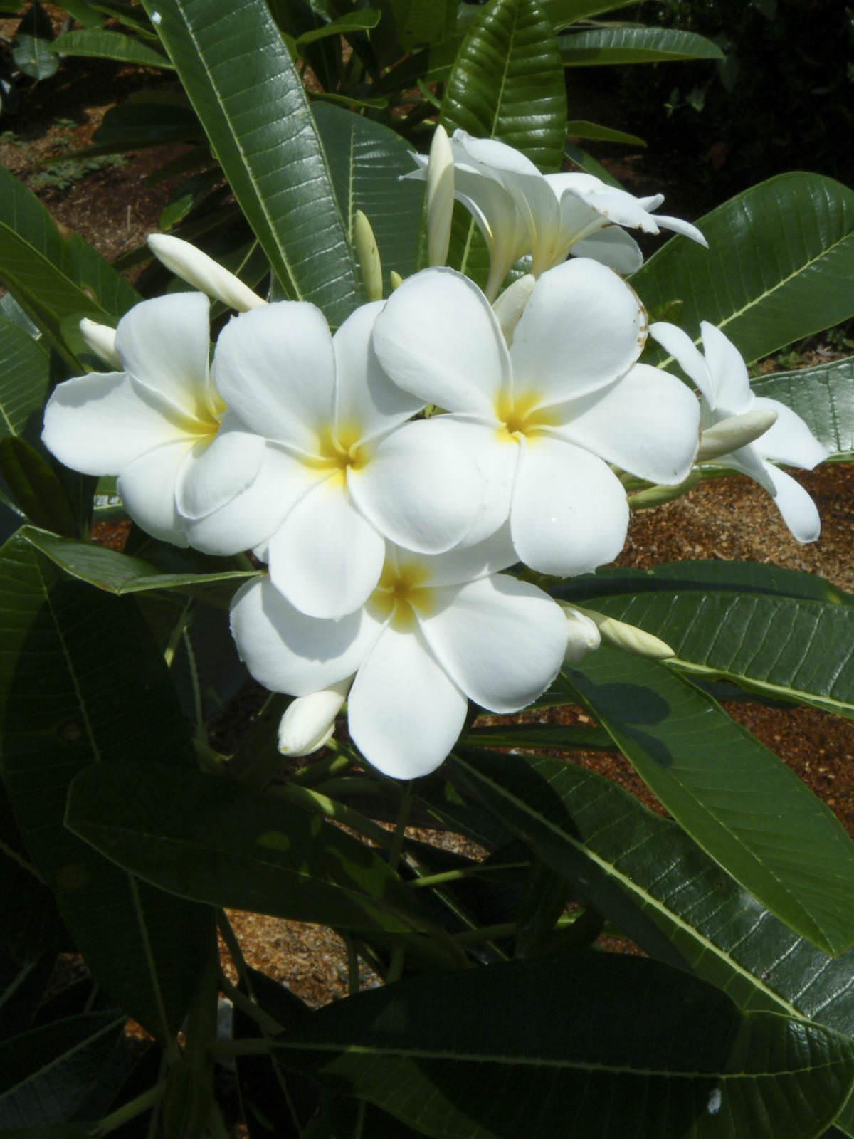 plumeria obtusa singapore graveyard flower world of flowering