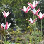 Tulipa clusiana - Lady Tulip