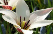 Tulipa clusiana (Lady Tulip)
