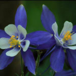 Aquilegia coerulea (Colorado Blue Columbine)