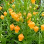 Sandersonia aurantiaca - Christmas Bells