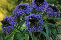 Scilla peruviana - Peruvian Lily