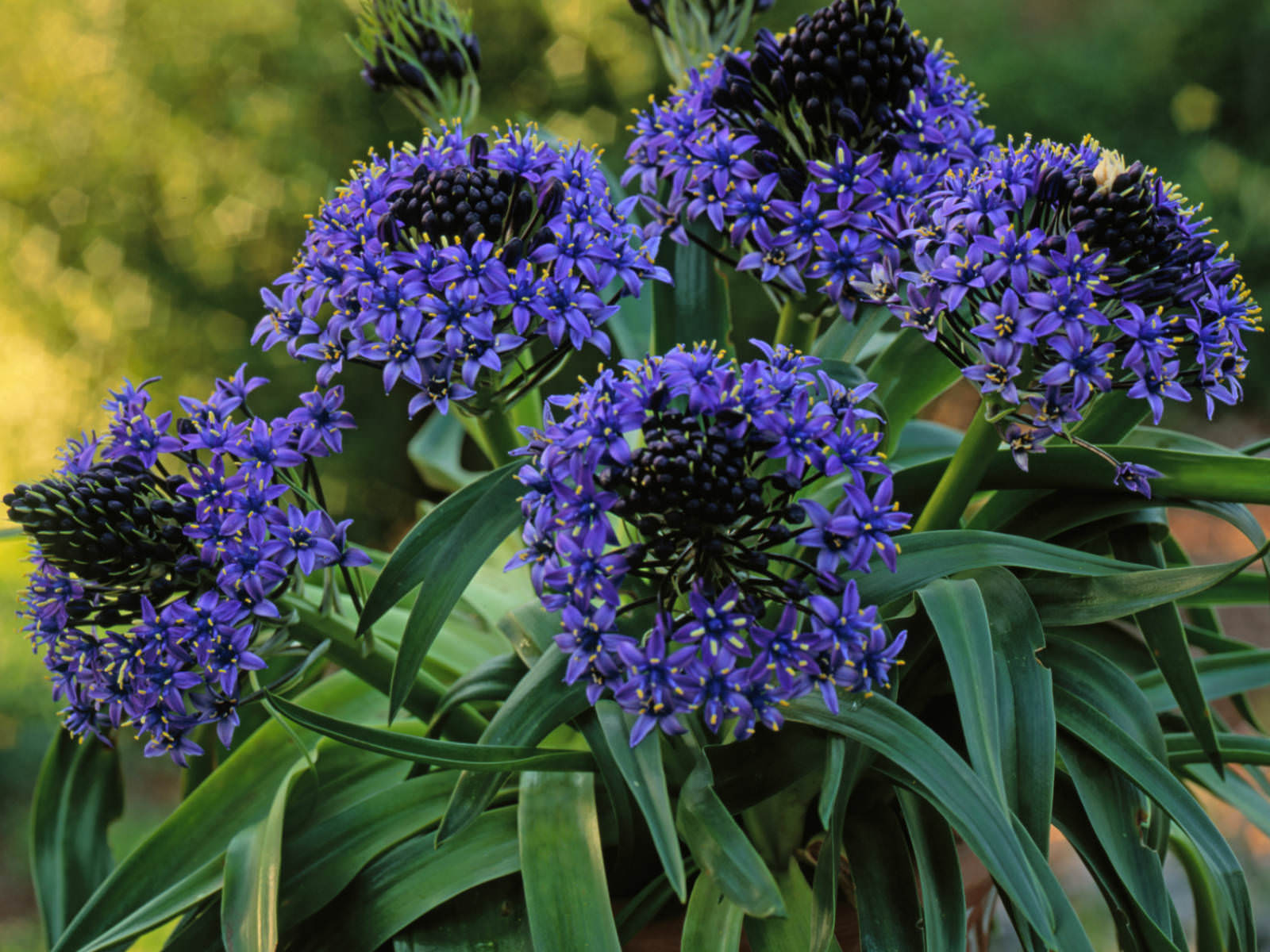 Scilla peruviana peruvian lily world of flowering plants each flower is blue up to 08 inch 2 cm in diameter with six tepals bulb is up to 31 inches 8 cm in diameter white with a covering of brown scales izmirmasajfo Gallery