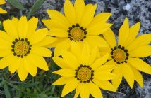 Gazania linearis (Treasure Flower)
