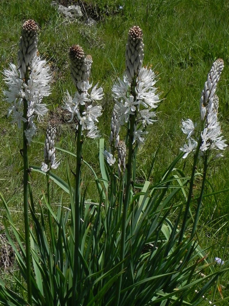 Asphodelus Albus White Asphodel World Of Flowering Plants