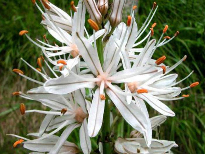 Asphodelus albus - White Asphodel