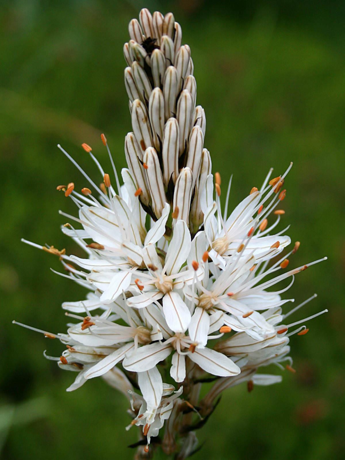 Asphodelus Albus White Asphodel World Of Flowering Plants