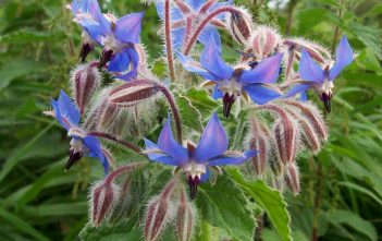 Borago officinalis (Borage)