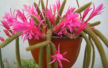Disocactus flagelliformis (Rat Tail Cactus)