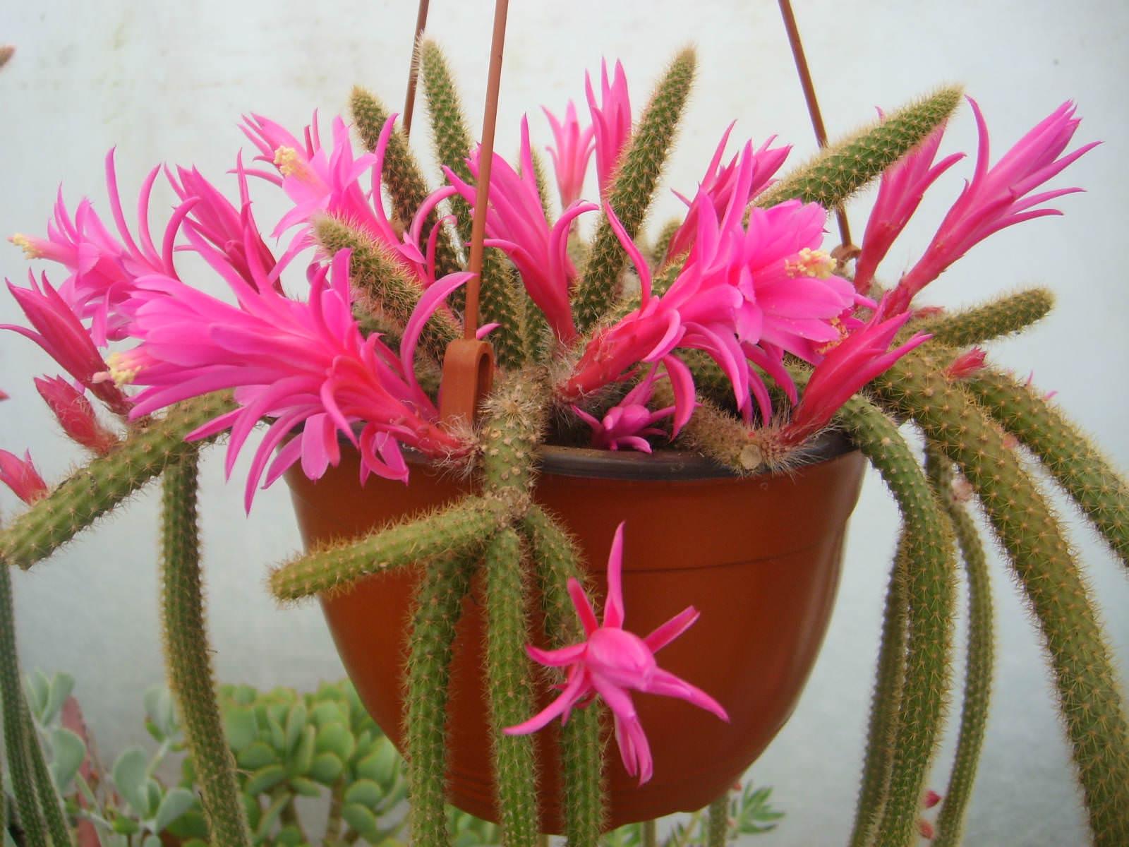 Disocactus Flagelliformis Rat Tail Cactus World Of