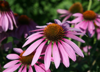 Echinacea purpurea (Eastern Purple Coneflower)