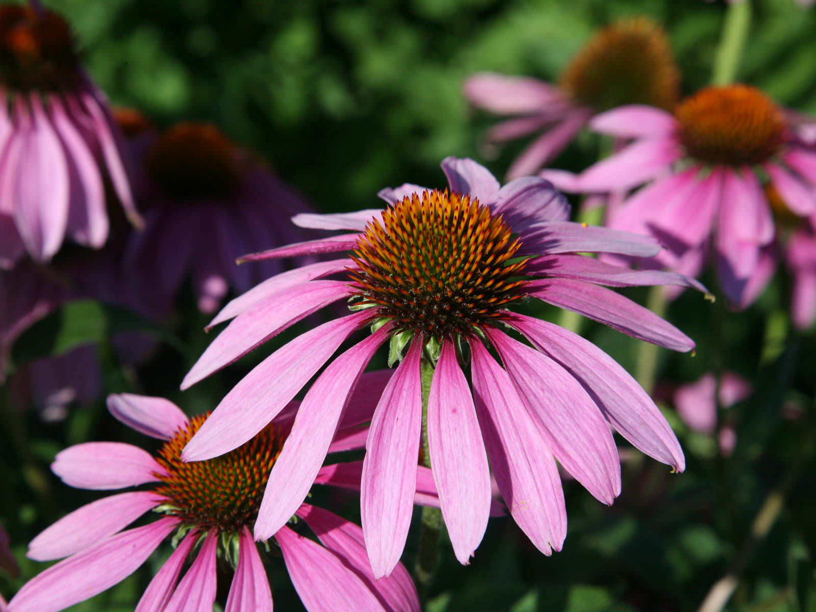 echinacea purpurea eastern purple coneflower world of flowering plants. Black Bedroom Furniture Sets. Home Design Ideas