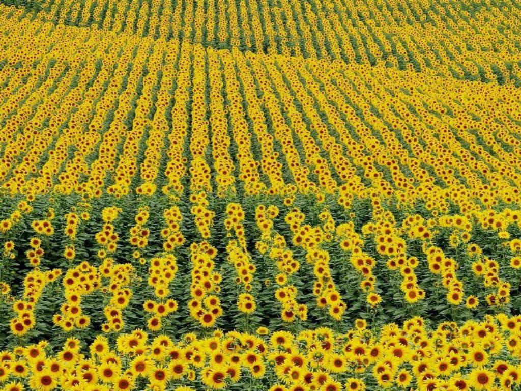 Summer Flower Field Wallpaper Helianthus annuus - Su...