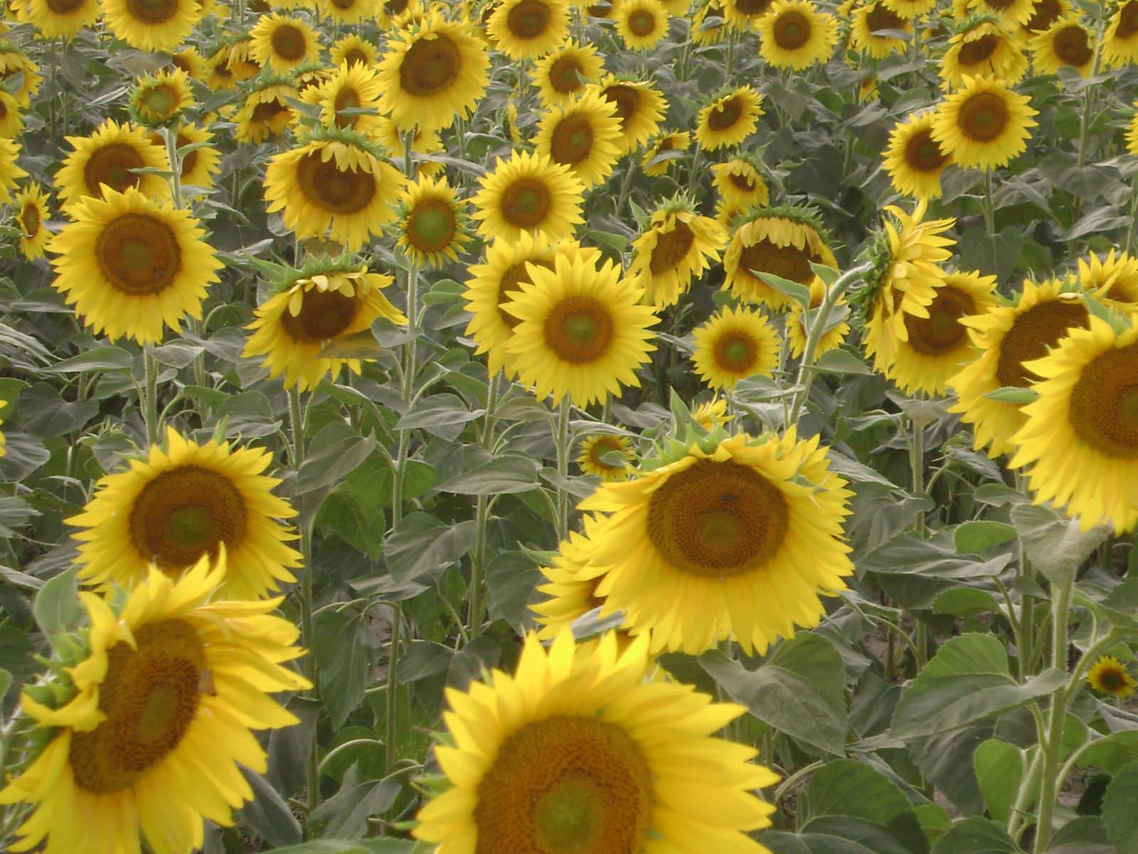 Helianthus annuus - Sunflower   World of Flowering Plants