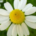 Matricaria chamomilla - German Chamomile