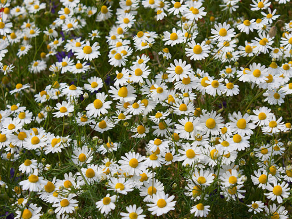 Spring In Europe 2018 >> Matricaria chamomilla - German Chamomile | World of Flowering Plants