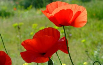 Papaver rhoeas (Corn Poppy)
